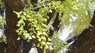 장수동 수령 800여 년 된 노거수(은행나무) Old …