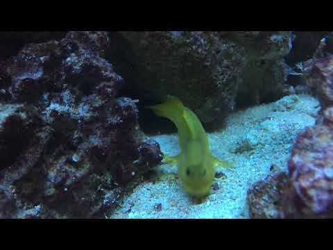 Yellow Watchman Goby Eats Bristle Worm For Dinner