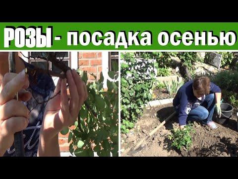 Как сажать розы осенью  Подготовка саженца и сама посадка