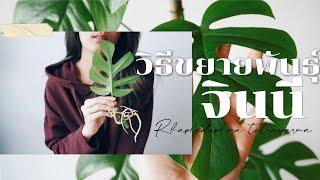 [ต้องรอด] EP.9 วิธีขยายพันธุ์ต้นจินนี่ แบบง่ายๆ เปรียบเทียบการเจริญเติบโต 3 วิธี