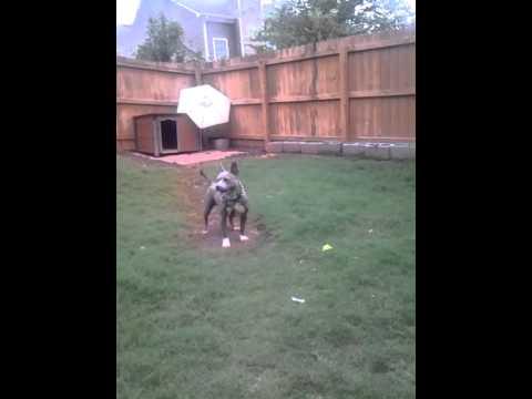 Blue nose gotti female pitbull