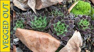 VEGGED OUT RANDOMNESS - NEW HAWORTHIA YAMADA BLACK - SEMPERVIVUM - AMPHIBIANS - PLANT LIFESTYLE