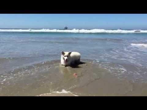 Winston Jumpin' Around at Huntington Dog Beach