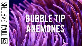 Bubble Tip Anemones
