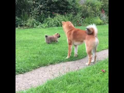 Doge daddy meets puppy