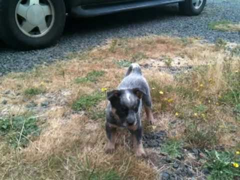 Introducing...Taz the Australian Cattle Dog Puppy