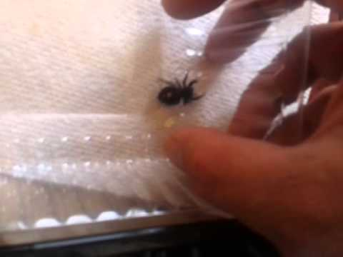 Poisonous Jumping Spider
