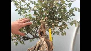 Bonsai Demonstration - Cork Bark Oak