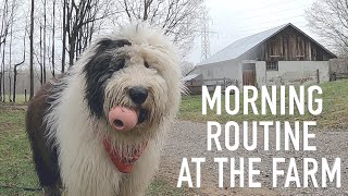 Old English Sheepdog's Morning Routine at the Farm