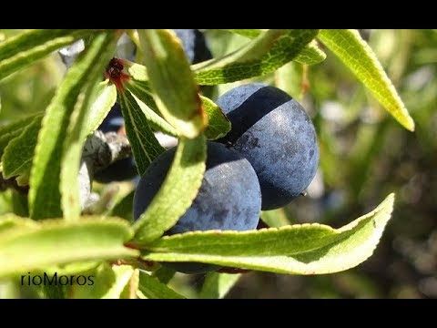 Endrinas: Prunus spinosa (www.riomoros.com)