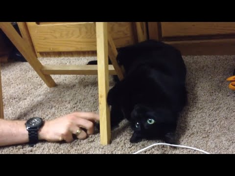 Tabby The Black American Short Hair Cat Loves To Play