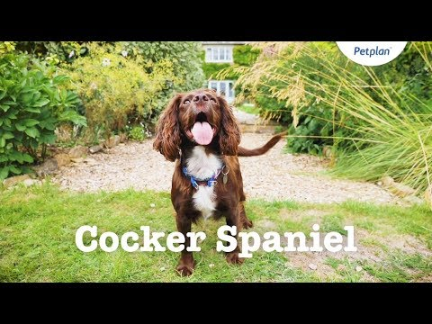 Cocker Spaniel Puppies & Dogs | Breed Facts & Information | Petplan