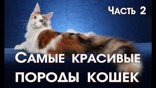Самые красивые породы кошек. Часть 2