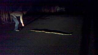 giant python snake far north queensland