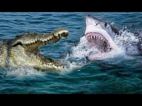 难以置信的鳄鱼VS鲨鱼| 谁会成为赢家?