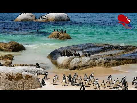 Penguin Random House|Cape Town, South Africa Penguins on the Beach - Picture of Boulders