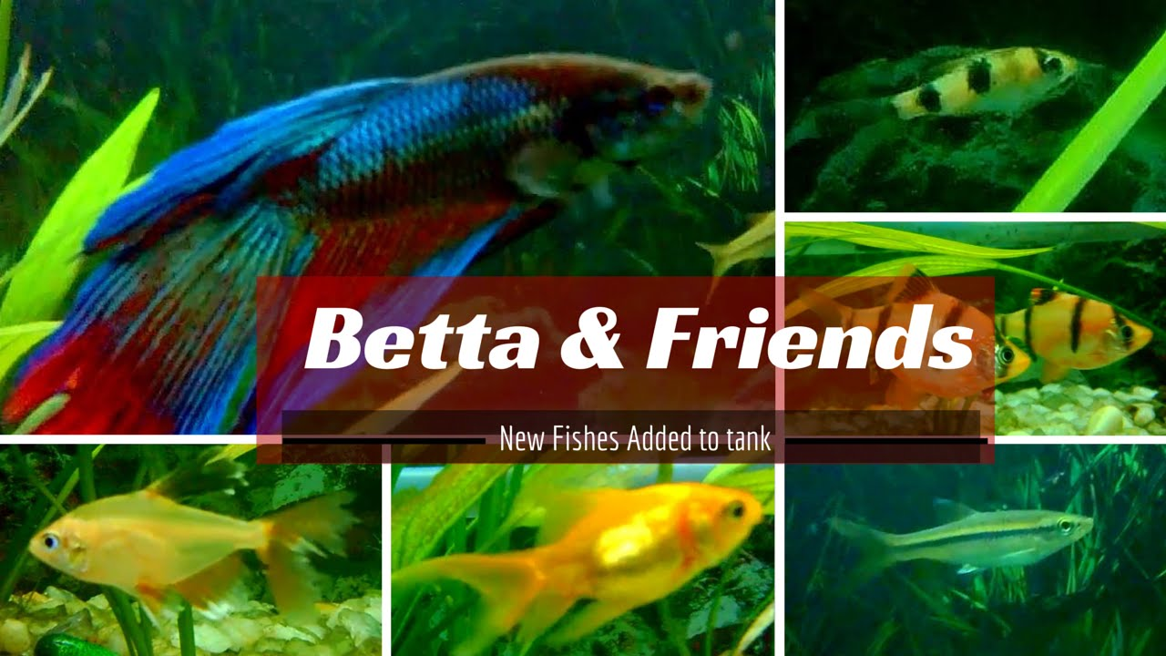 fishes that can be kept with betta fish youtube