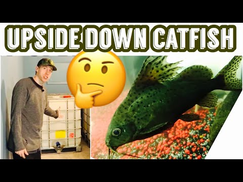 Upside Down Catfish Tank Care & Size
