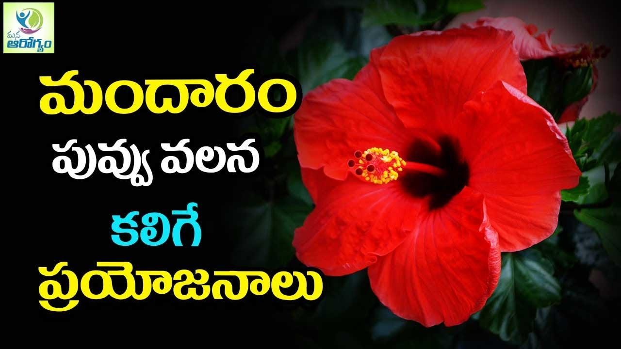 Amazing benefits of hibiscus flower mandaram mana arogyam youtube amazing benefits of hibiscus flower mandaram mana arogyam izmirmasajfo