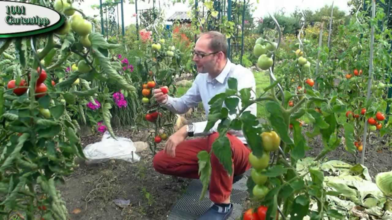 tomaten ausgeizen gartentipp 0702 juli das experiment tomaten nicht ausgeizen youtube. Black Bedroom Furniture Sets. Home Design Ideas