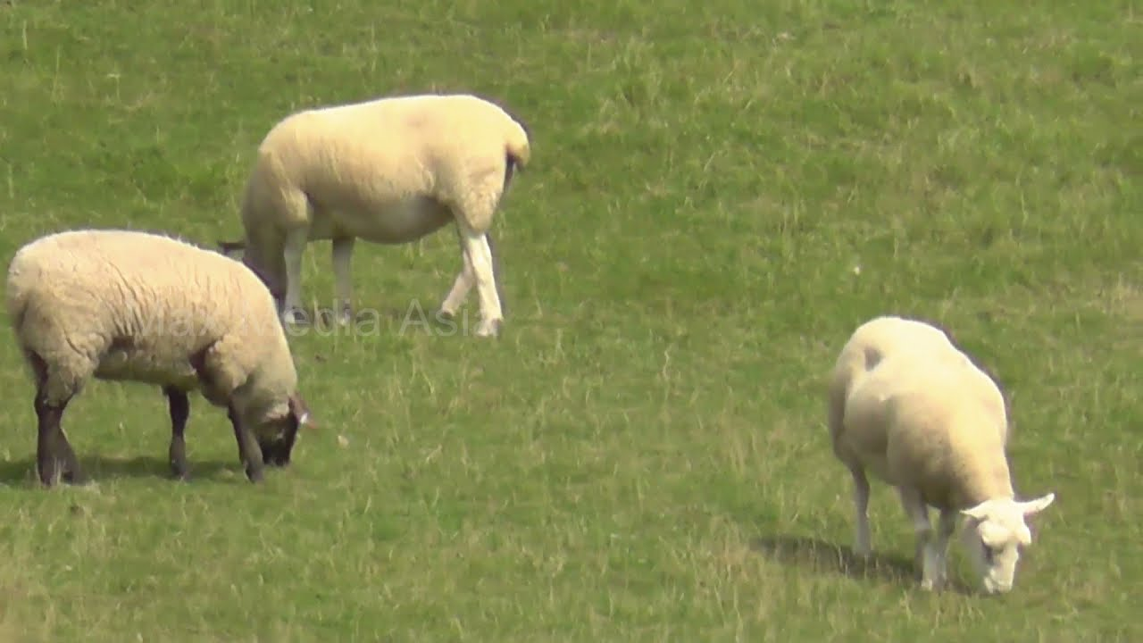 Download UK British countryside Sheep grazing on farm in Cotswolds