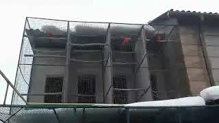 Королевские попугаи, зимнее, уличное содержание. Февраль 2019 г.