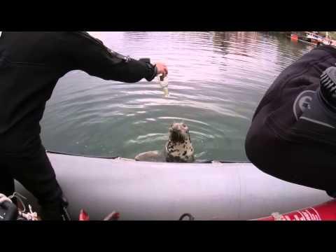 Dunbar Harbours Resident Seal