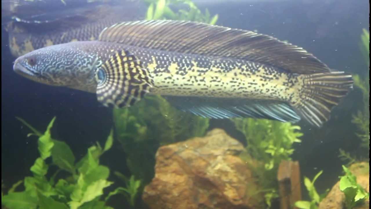 Big Channa Aurantimaculata Pair Golden Cobra Snakehead