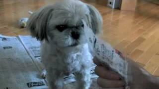 シーズー犬 食いしん坊のイブ、Glutton shih tzu I'm on Website at htt...