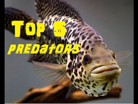 Top 5 Predatory Fish For Freshwater Aquariums.