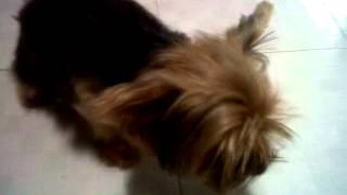Mi Yorkshire Terrier: Chelsea.