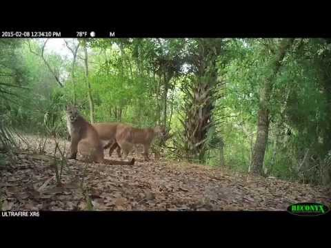 65f2acb8e45 Florida Panthers at Corkscrew Swamp Sanctuary - Part 2