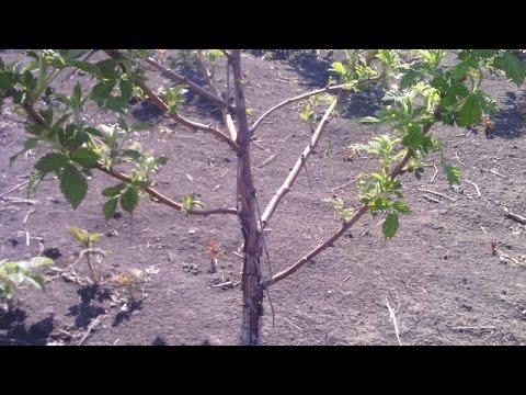 Малиновое дерево Таруса, его особенности, способы