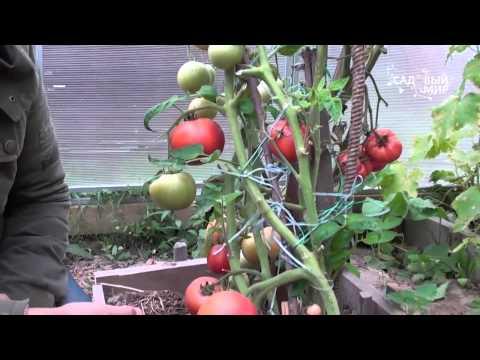 Устойчивые сорта томатов: Евпатор и Розовый царь. Сайт Садовый мир