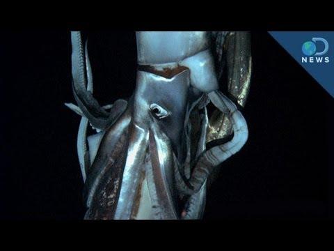 Giant Squid: King of the Ocean