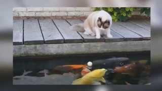 Кот и рыба в бассейне  Смешное видео  Прикол(Котэ и рыба в бассейне. Кот рыбак. Смотреть прикол. Супер Самые сливки - Канал Синий ЛОСЬ: https//www.youtube.comchannelUCgPMo..., 2015-04-08T08:28:32.000Z)