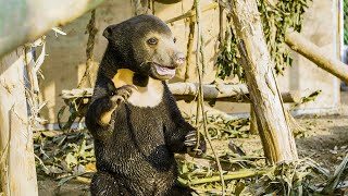 Orphan Sun Bear Gets A New Chance At Life | Bears About The House | BBC Earth