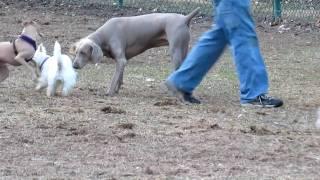 Italian Greyhounds And Weimaraner. 3-11-11  Dog Park