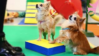 Cute Chihuahua Dogs Learning A Trick With A Box