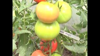 Новые гибриды томатов. Дачные советы