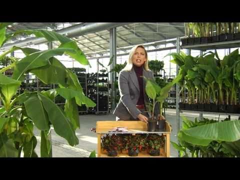 Prächtig BALDUR-Garten | Winterharte Bananen - YouTube &DT_82