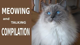 Ragdoll Cat Meowing Compilation
