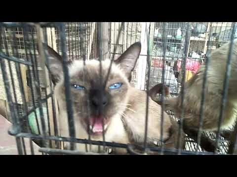 Thai Cat or Old style Siamese Cat With Blue Eyes Looking Cute