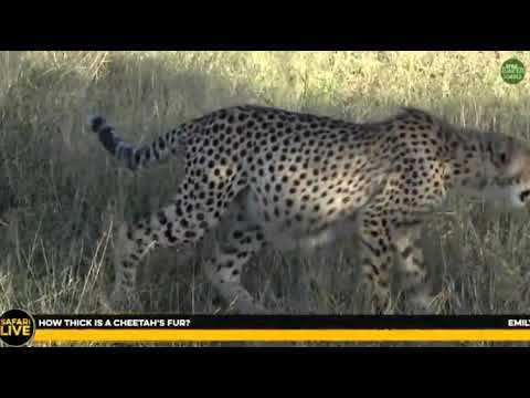 Wild Africa Cheetah`s again on Sunset drive Ellie`s on Djuma cam to 21 May 2018