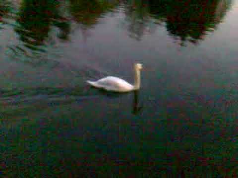 Nov4 2009  Swans @sonning bridge @sunset bearwoodbrown.com