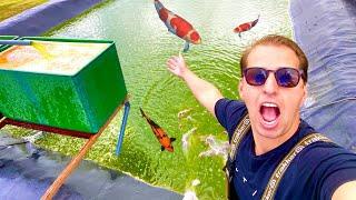 Yearly Koi Harvest -2 Big Koi Ponds
