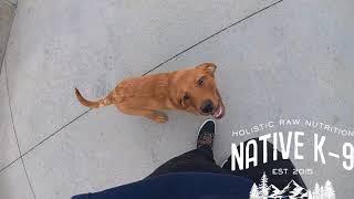 Fox Red Labrador Retriever Puppy Training (Brave)