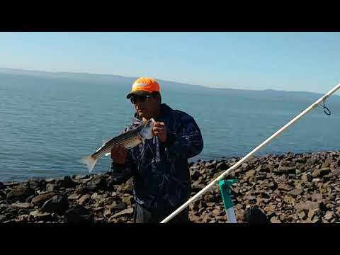 Fish On!! Striper Hit At San Leandro Marina On All Kinds Of Bait.