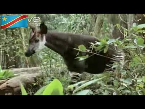 Okapi (Mondonga)