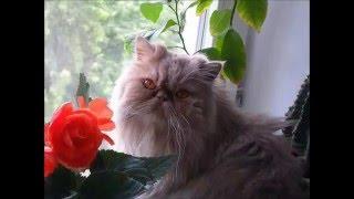 Персидские кошки - вальяжные аристократы